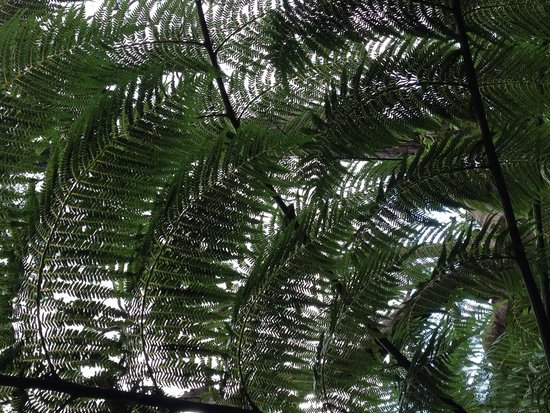 The Giant Stairway: Canopy of fern in rainforest on trails below