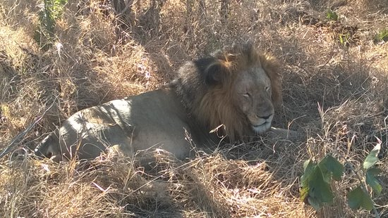 Kapama River Lodge: Lion