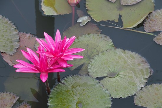 Fuxianfaxiangzhidao: Lotus pond at the hotel
