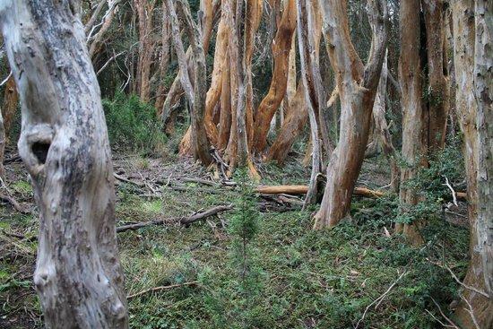 Isla Victoria: Bosque de Arrayanes