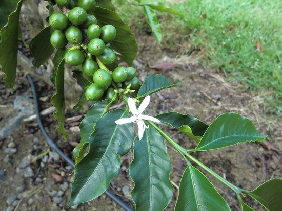 UCC Hawaii Kona Coffee Estate : コーヒーの花と実