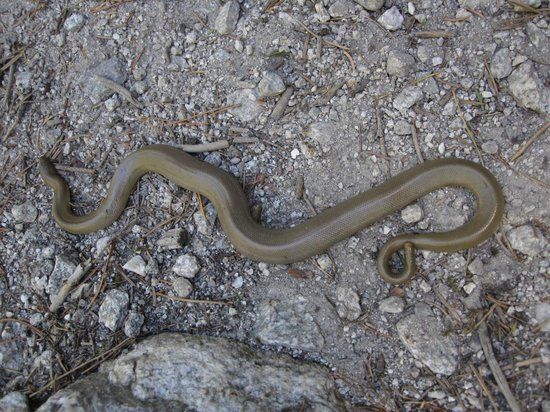 Bear Creek Trailhead : Rubber Boa snake