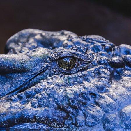 Marineland Crocodile Park : Eye of Cassius, the biggest captive croc