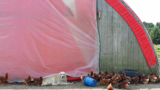 "Glasbern Inn - Fogelsville / Allentown: Chicken Coop and the ""Guard Dog"""