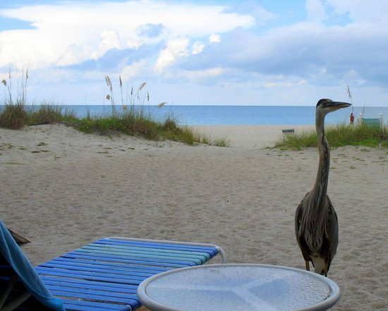 Sailfish Beach Resort: Harry the Great Blue Heron