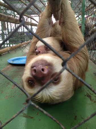 Sloth Sanctuary of Costa Rica: Mother and Daughter ~ so sweet, so curious