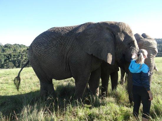 Knysna Elephant Park: Voce pode passar a mão e alimenta-los
