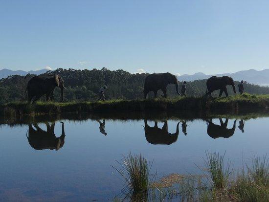 Knysna, Güney Afrika: Guias com os elefantes
