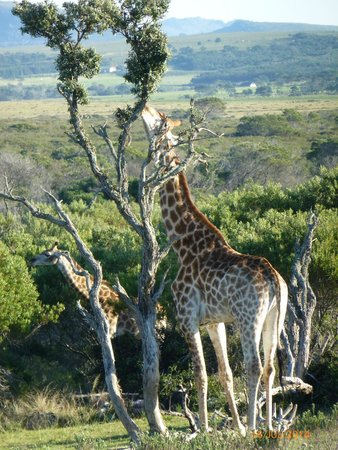 Supertubes Guesthouse: Kragga Kamma Game reserve ( close by )
