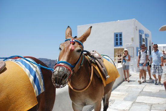 Astra Suites: The mules that popped into Oia abruptly!