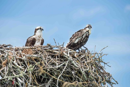 Gulf Coast Visitor Center: Osprey parent and chick.