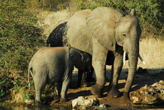 Pondoro Game Lodge: Elephants!