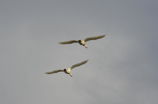 Gray Lodge Wildlife Area: SNOW GEESE ARRIVING