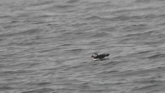 Hardy Boat Cruise: Puffin (frame capture from video)