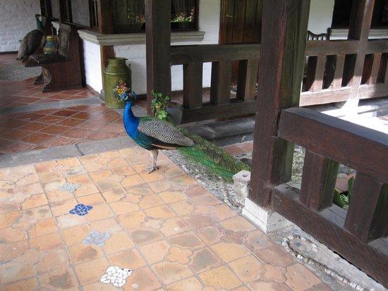 Samari Spa Resort: Peacock Visitor