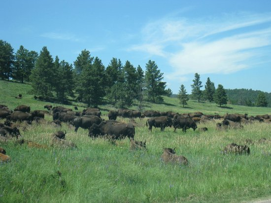 Custer State Park: Buffaloes passing by