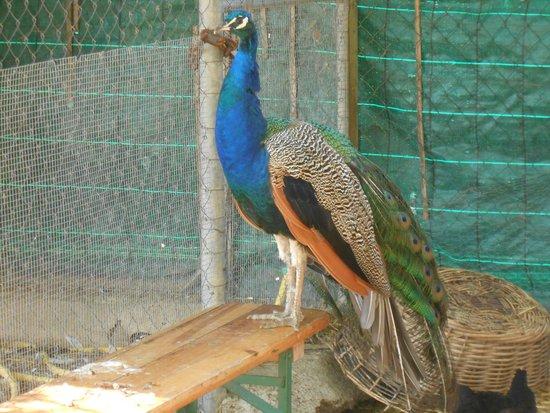 Ferme Pédagogique de l'Oiselet : paon