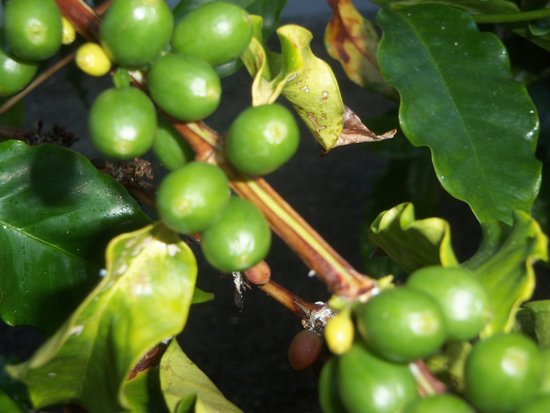 Waikoloa Beach Marriott Resort & Spa : coffee trees on the grounds