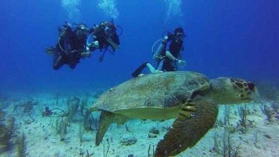 Pro Dive International: loggerhead turtle