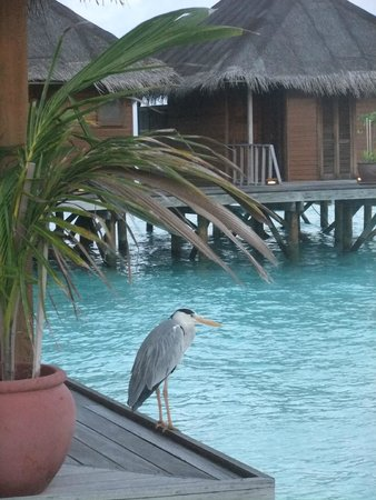 Meeru Island Resort & Spa : Part of over water Spa and wildlife