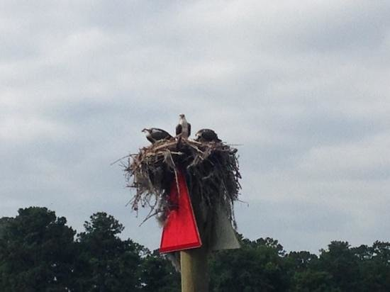 TugBoat Cruises of New Bern, NC : Osprey spotted on the Trent River