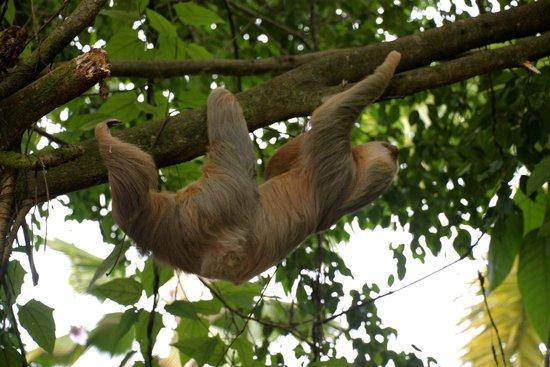 Falls Resort at Manuel Antonio : Sloth at the hotel