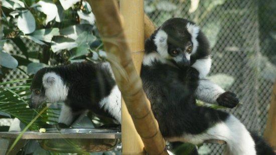 Parc Zoologique de Paris: lémurien