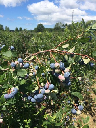 Reender's Blueberry Farm
