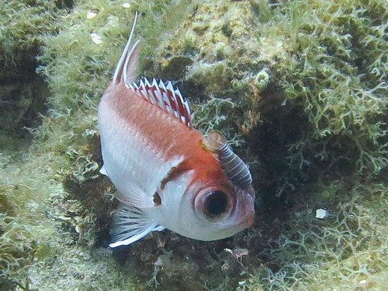 Dressel Divers Bayahibe : Squirrel Fish with Isopod (parasite)