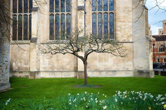 University of Cambridge : Isaac Newtons Apple tree (a descendent) at trinity college