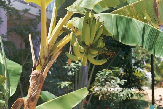 Hidden Paradise Resort Hotel: Banana tree