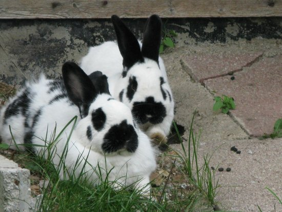 Hotel Sonnschein: Remaining 2 of Take That. Hotel's resident rabbits.