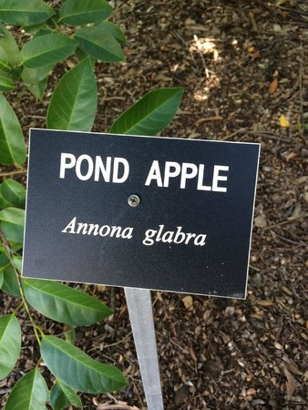 Florida Botanical Gardens: So excited to see this fruit, haven't seen it in years.