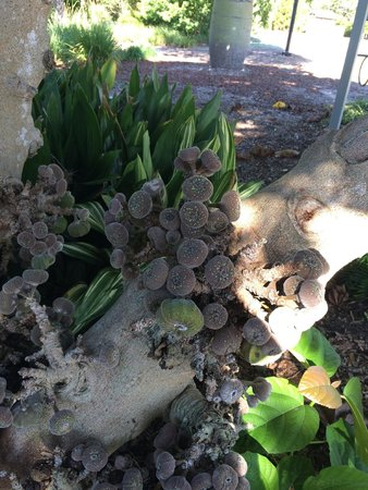 Florida Botanical Gardens : Asian figs.