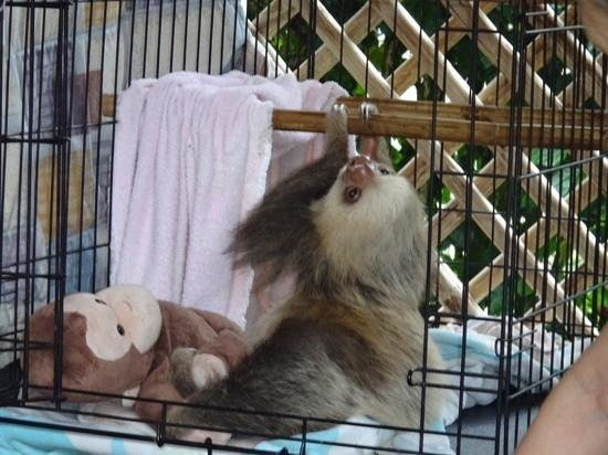 Sloth Sanctuary of Costa Rica : baby sloth with his teddy...