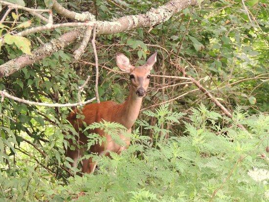 Raven Run Nature Sanctuary : A Nosy Deer @ Raven Run