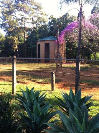 Zoologico de Americana: girafa linda