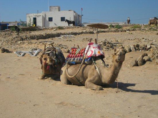 Hotel Blue Kaouki : Dromadaires sur la plage Sidi Kaouki