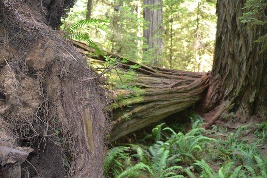 Redwood National Park: timber