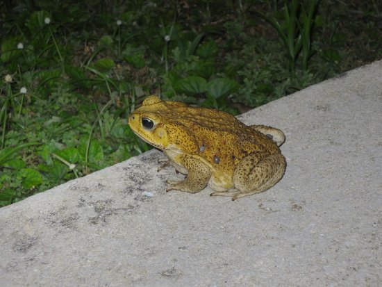 Playa Bluff Lodge: watch out for the big toads at night, they aren't very speedy