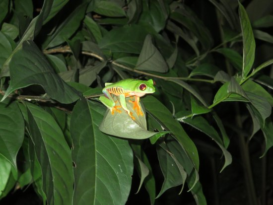 Playa Bluff Lodge: red eyed tree frog in the garden