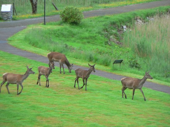 Lake Hotel: Red deer early morning