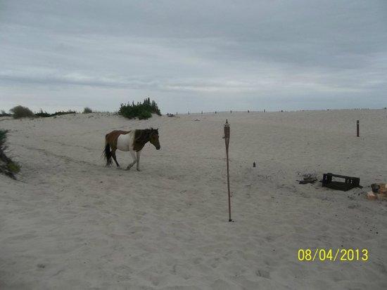Assateague Beach : Wild horses  watch your food!!!