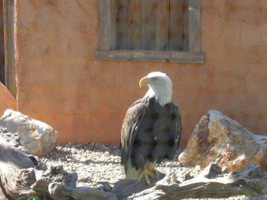 Reptile Gardens: Cheyenne, the Bald Eagle