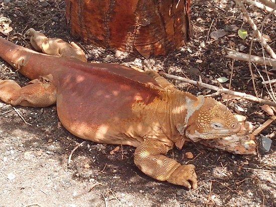 Charles Darwin Research Station: Iguana Terrestre