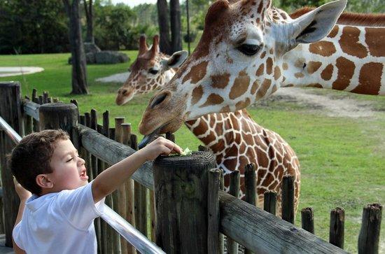 Zoo Miami: The Samburu Giraffe Feeding Station open daily from 11am to 4pm