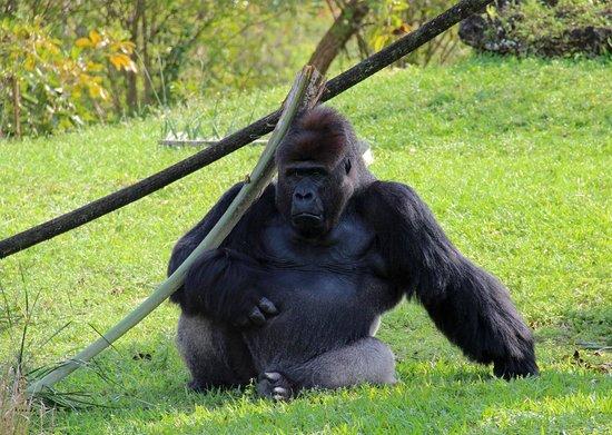 Zoo Miami: Jimmy the gorilla