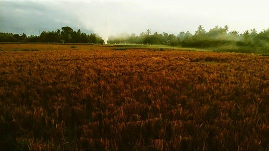 Dalem Agung Kencono: local Ricefields at dusk