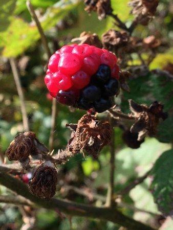 Riverside Country Park: Plenty of blackberry picking
