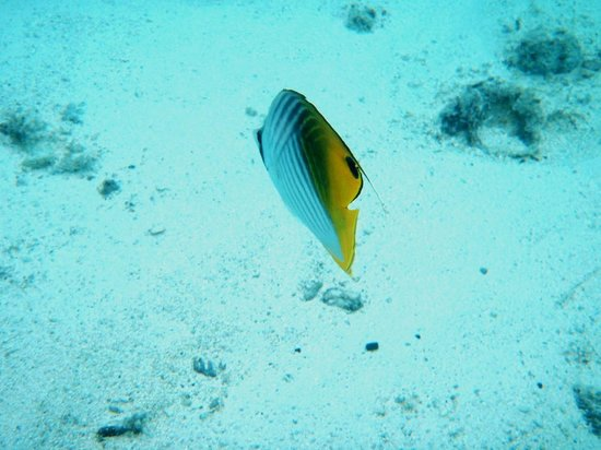 Adventure Cook Islands: Butterfly Fish